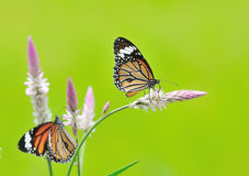 Butterfly (Common Tiger) and flower Stock Photo
