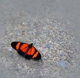 Butterfly on a Concrete Sidewalk. A butterfly in Ecuador on a concrete sidewald royalty free stock image