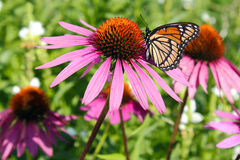 Butterfly on Cone flower Royalty Free Stock Images