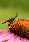Butterfly on the coneflower Royalty Free Stock Photos