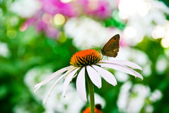 Butterfly on a coneflower Royalty Free Stock Photo