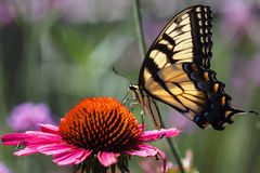 Butterfly on Coneflower Royalty Free Stock Image