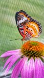 Butterfly on coneflower. Orange and black butterfly lands on pink cone flower Stock Photos