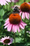 Butterfly on a coneflower 2 Stock Image