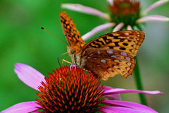 Butterfly on coneflower Royalty Free Stock Photo