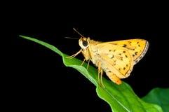 Butterfly, Confucian Dart Stock Photos