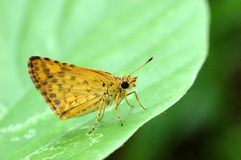 Butterfly, Confucian Dart Royalty Free Stock Photos
