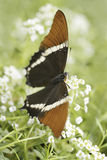 Butterfly consuming nectar Stock Photos