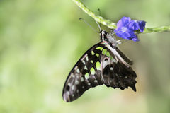 Butterfly consuming nectar Royalty Free Stock Images