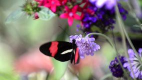 Butterfly consuming nectar stock footage