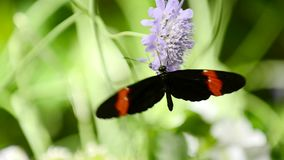 Butterfly consuming nectar stock video footage