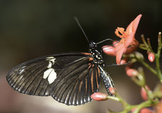 Butterfly consuming nectar Stock Image