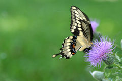 Butterfly with copy space. Giant swallowtail butterfly drinking pollen from a purple thistle on green background has copy space stock images