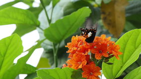 Butterfly and Cordia flowers. Tropical butterfly sucking nectar and pollinate on cordia flowers stock footage