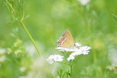 Butterfly on the coriander plant . Butterfly on the coriander plant in Uttrakhand india stock images