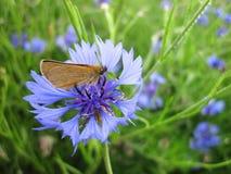 Butterfly on cornflower Stock Photo