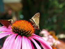 Butterfly on cornflower Stock Photography