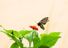 Butterfly on Cosmos flower Royalty Free Stock Images