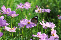 Butterfly and cosmos flower. Stock Images