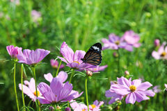 Butterfly and cosmos flower. Royalty Free Stock Photo