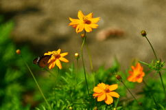 Butterfly and Cosmos Royalty Free Stock Image
