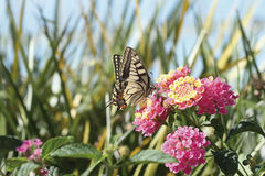 Butterfly in country. A butterfly feeding on a flower royalty free stock images