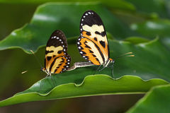 Butterfly couple on leaf Royalty Free Stock Photo