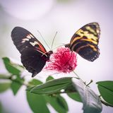 Two Red and Yellow Butterflies on Flower in Abstract Background. Butterfly couple lovers in love meeting at flower Royalty Free Stock Photos