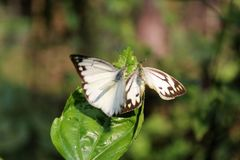 Butterfly couple mating in nature.beautiful stripped Pioneer White or Indian Caper White butterflies intercourse pairing in nature royalty free stock photo