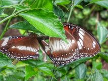 Butterfly Couple. A pair of butterflies perched on the plant Royalty Free Stock Photos