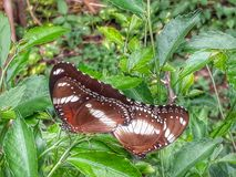 Butterfly Couple. A pair of butterflies perched on the plant Stock Images