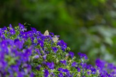 Butterfly couple staying on blue flower vine stock photos