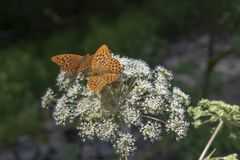 Butterfly couple in summer royalty free stock photos