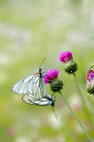 Butterfly coupling. A mating pair of black-veined white butterflies (Aporia crataegi) on a green background Royalty Free Stock Images