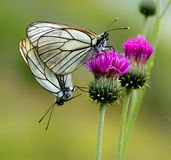 Butterfly coupling. A mating pair of black-veined white butterflies (Aporia crataegi) on a green background Royalty Free Stock Photography