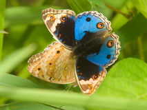 Butterfly Courtship Stock Photo