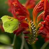 Butterfly on crocosmia Stock Photography