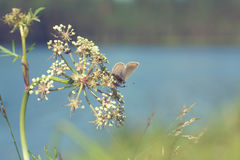Butterfly crouched on the umbellate inflorescence, toning in the style of vintage Royalty Free Stock Photo