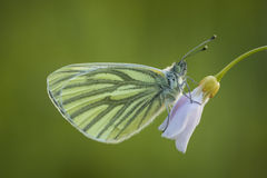 Butterfly on cuckooflower Stock Photography