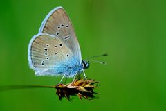 Butterfly Cupido minimus Stock Image