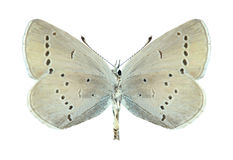 Butterfly Cupido minimus (female) (underside) Royalty Free Stock Images