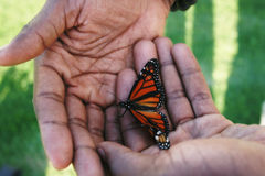 Butterfly cupped in Helping Hands. Monarch Butterfly needing help to take to the air. Danaus plexippus royalty free stock photography