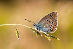 Butterfly Cyaniris Helena Stock Photo