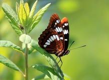 Butterfly d'amiral Lorquin's Image libre de droits