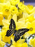 Butterfly on daffodils flowers Royalty Free Stock Photo