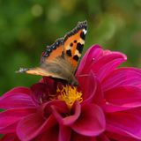 Butterfly on dahlia flower Stock Photo