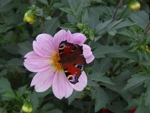 Butterfly on a Dahlia flower. royalty free stock photos