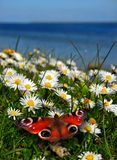 Butterfly on daisies Stock Images