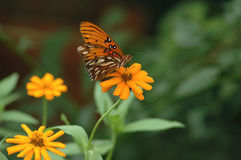 Butterfly and daisy. A butterfly in a garden of daisies royalty free stock photos