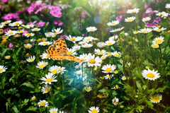 Butterfly and daisy Royalty Free Stock Image